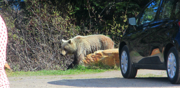 Grizzly Bear in the Car Park Canada