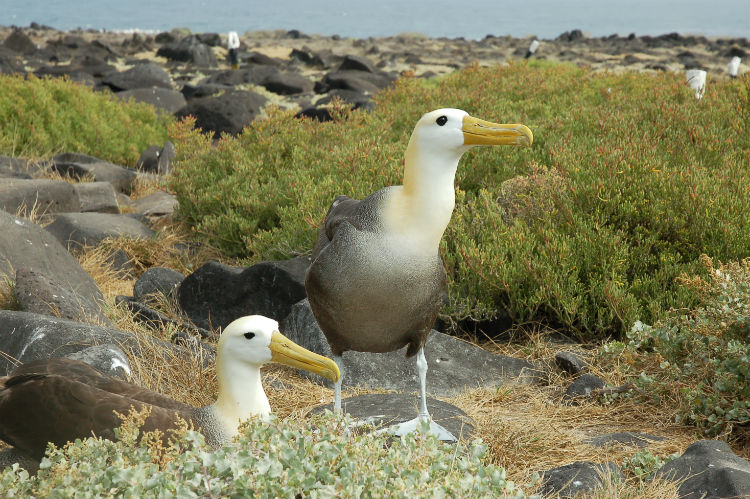 Waved Albatros birds Galapagos.jpg