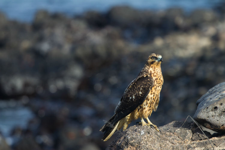 Young Galapagos Hawk.jpg
