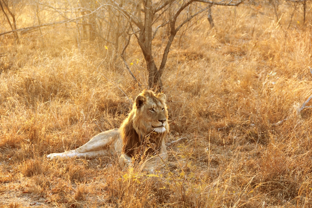 A grown male lion lying in a safari landscape with late evening sun
